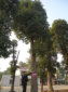 移植香樟树